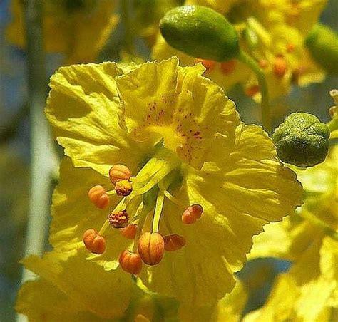 cercidium floridum palo verde tree smart seeds emporium