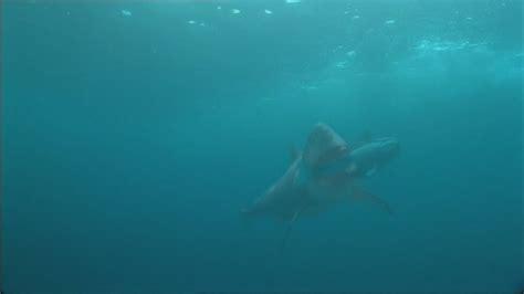 real megalodon shark caught  camera evidence