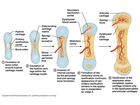 ch 6 9 skeletal system and articulations flashcards