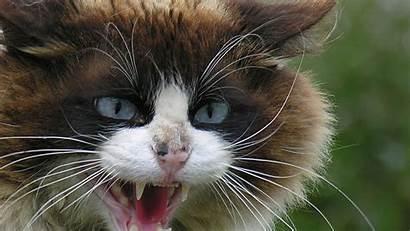 Cats Warrior Cat Hissing Backgrounds Forever Desktop