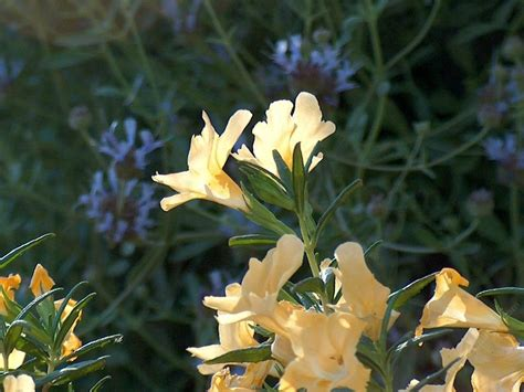 ca plants california native plants
