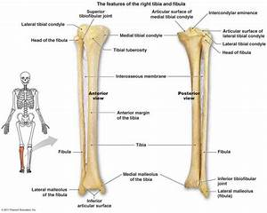 Animations Diagrams The Anatomy Of Tibia And Fibula Tibia