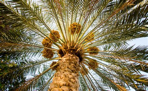 Como a palmeira... - Universal.org - Portal Oficial da ...