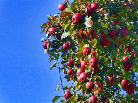 Apple Tree Free Stock Photo - Public Domain Pictures