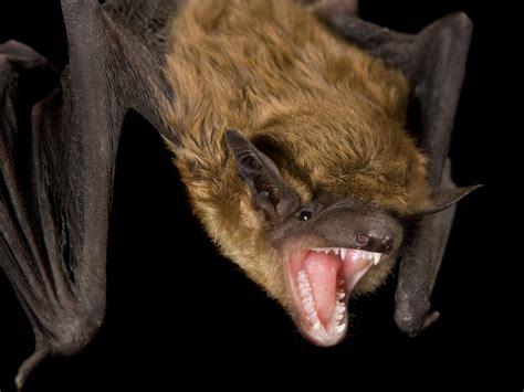 detecting rabid bats   bite