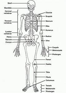 Human Skeleton Diagram Unlabeled   Human Skeleton Diagram