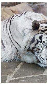 Sleeping White Tiger Stock Images - Image: 25292624