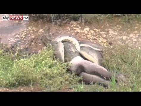 Pitón se come un cocodrilo tras cuatro horas de lucha