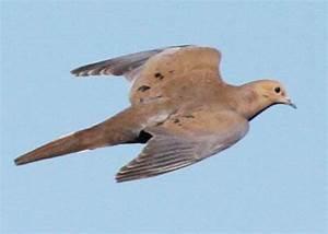 pictures of mourning doves flying | Mourning Dove, Zenaida ...