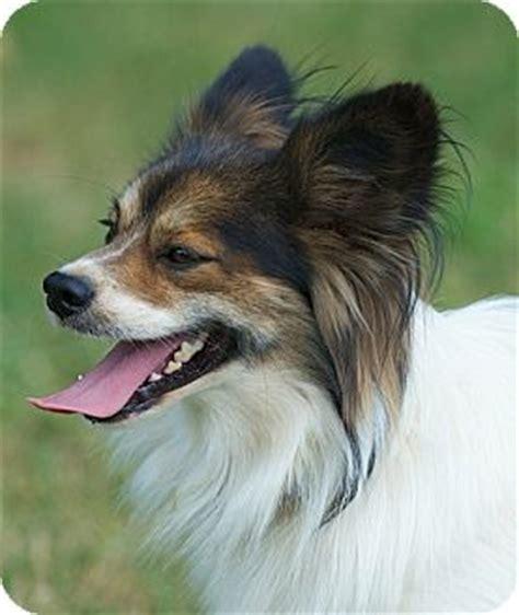 boomer adopted dog providence ri papillonsheltie