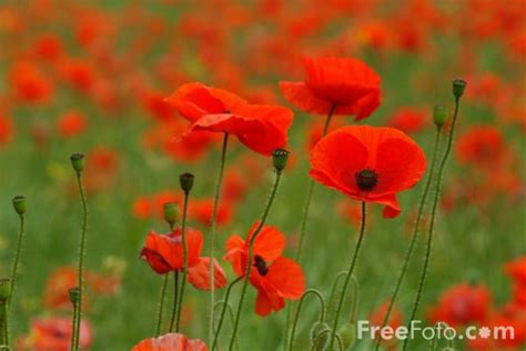 poppy pictures free use poppies pictures free use image 12 14 4 by freefoto com