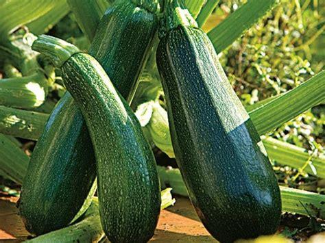 cuisine des fleurs planter la courgette en pot ou jardinière