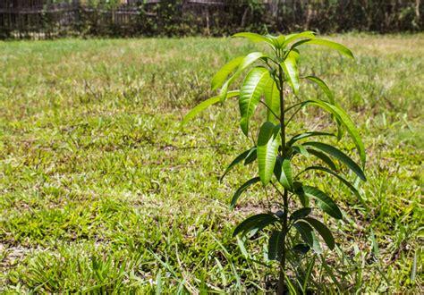 mango pflanzen ein ratgeber von standort bis vermehrung