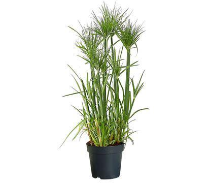 papyrus pflanze kaufen papyrus dehner garten center