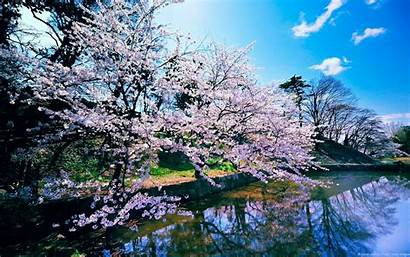 Cherry Blossom Tree Trees Wallpapers Wallpaperaccess