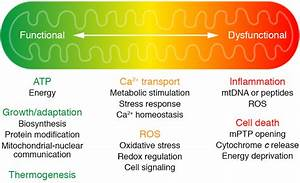 An Overview Of Mitochondrial Function In Health And