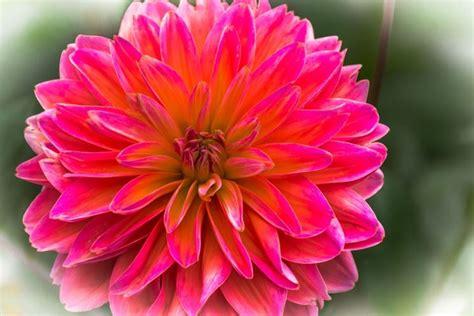 bulbo fiore dalia fiore piante perenni coltivare dalia
