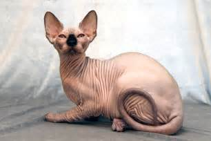 hairless cat for 6 strange breeds of hairless cats featured creature
