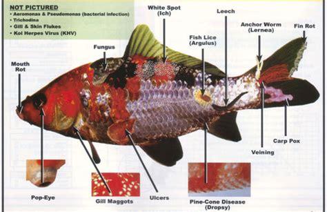 koidiseasegold fish disease  aquarium setup