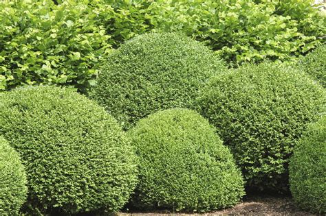common garden shrubs boxwood bush types what are some good buxus varieties to grow