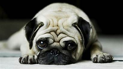 Pug Dog Wallpapers Pugs Puppy Puppies Dogs