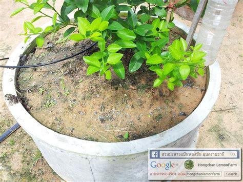 สวนมะนาวแป้นห่องชัน @วารินชำราบ จ.อุบลราชธานี