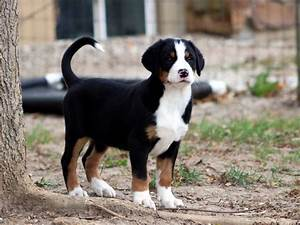 Greater Swiss Mountain Dog Size
