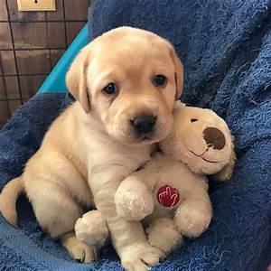 Cute Puppies Labradors | www.pixshark.com - Images ...