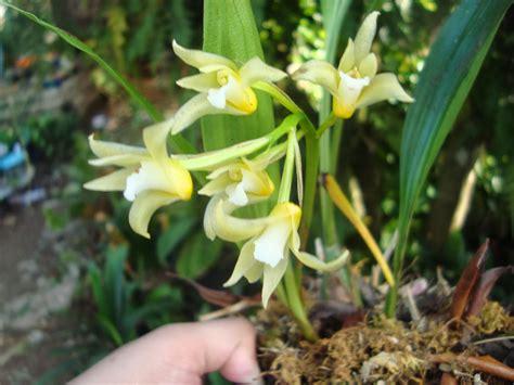 Orquídeas HElid: Xylobium Sulphurinum