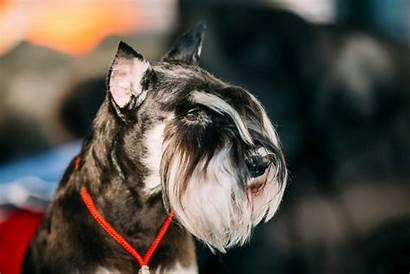 Schnauzer Miniature Dog Eyebrows Breeds Breed Schnauzers