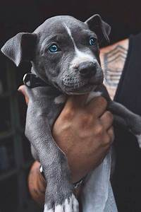 Black pitbull with blue eyes (honestly the cutest thing i ...
