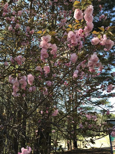 flowering japanese cherry kanzan japanese flowering cherry prunus serrulata chasingtrees