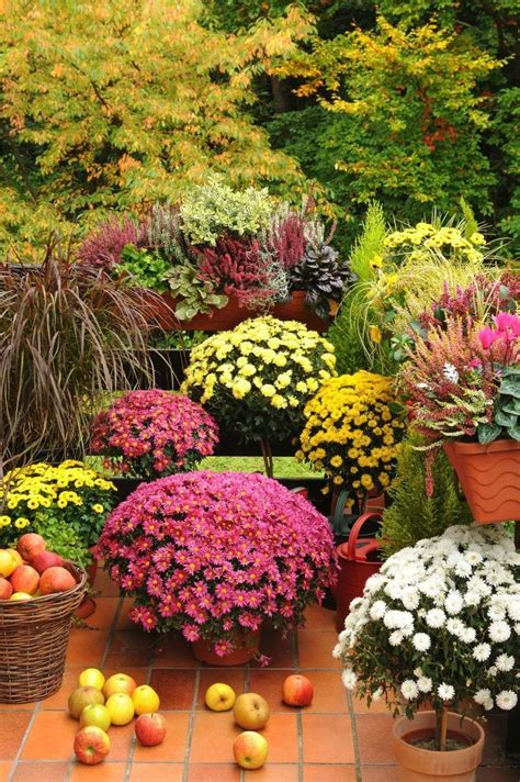 fall mums pinterest