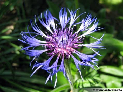 cuisiner maison centaurée des montagnes bleuet vivace centaurea montana