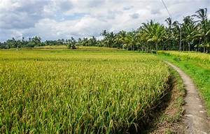 Ubud Rice Fields Walk: 3 of the Best to see Rural Bali ...
