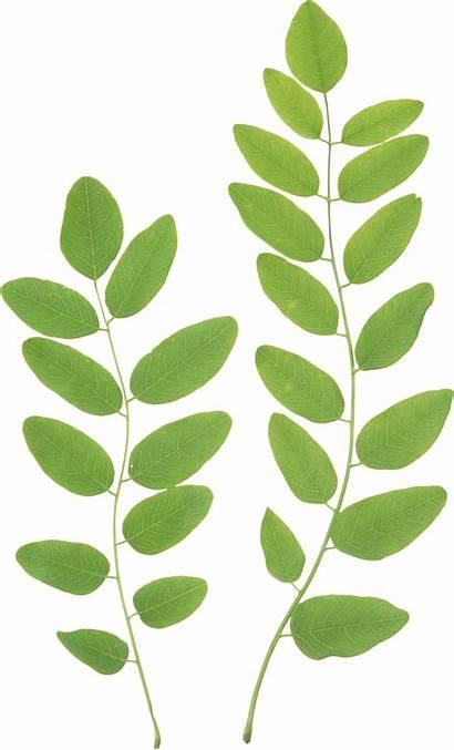 Leaves Leaf Clipart Vine Transparent Background Foliage