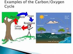 carbon oxygen cycle essay