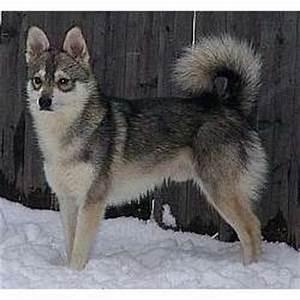 Dog breeds: Alaskan Klee Kai
