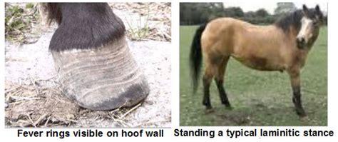 laminitis irish horse welfare trust