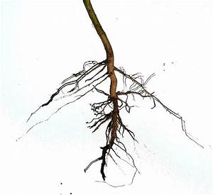 File:Dicotyledoneae Asteraceae herb - root system, primary ...
