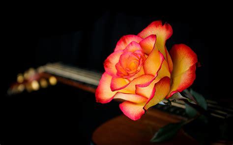 wallpaper rose flower orange hd flowers