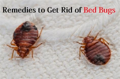 Rid Of Bed Bugs by Home Remedies To Get Rid Of Bed Bugs