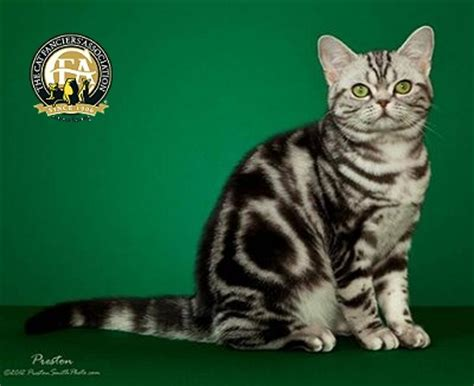 Breed Profile The American Shorthair