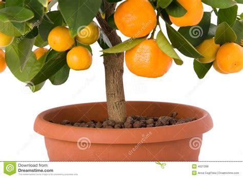Full Of Small Citrus Tree Royalty Free Stock Photos