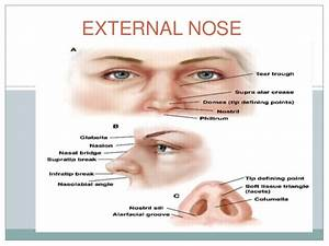 Related Keywords & Suggestions for nose anatomy external