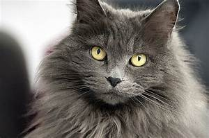 Short Hair Or Long Hair  Which Cat Breeds Do You Prefer