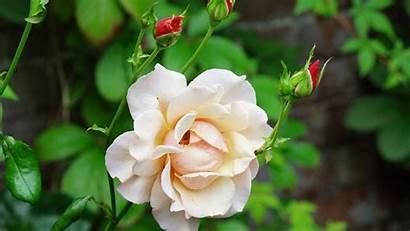 Rose 4k Close Flower Nature Wallpapers Peach