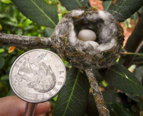 bee hummingbird eggs www pixshark com images galleries