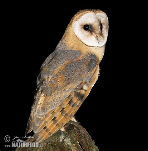 Barn Owl Malaysia by Selangorkini