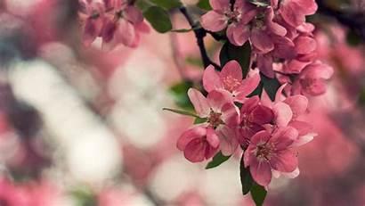 Blossom Cherry Desktop Wallpapers Flower Blossoms Laptop